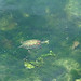 chinese stripe-necked turtle - kenting NP, southern taiwan 2