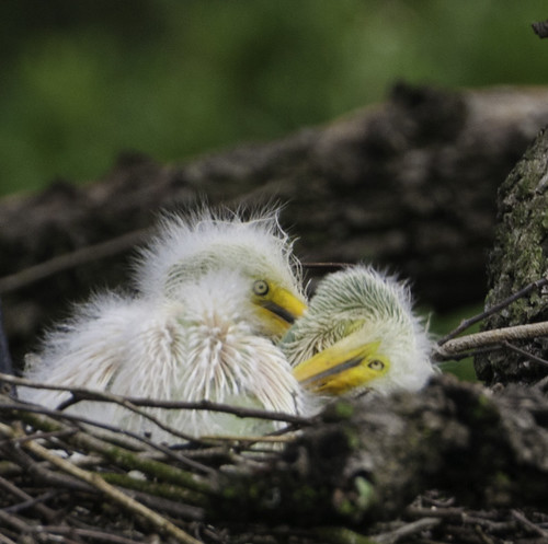 Original image of baby egrets before post processing