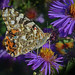 Painted Lady...I'm Pretty Sure by Vidterry