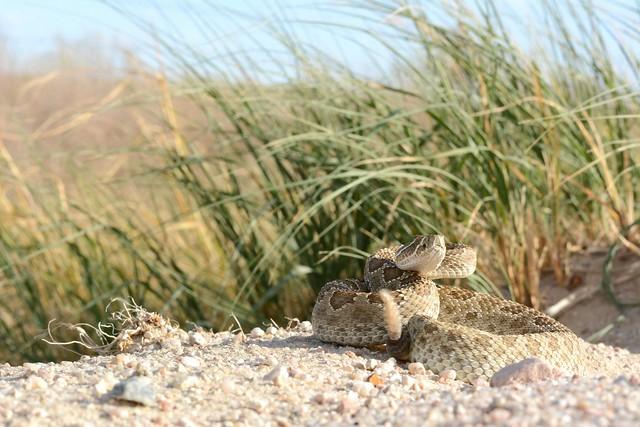 Prairie Rattlesnake, Nikon D7100, AF-S DX Micro Nikkor 85mm f/3.5G ED VR