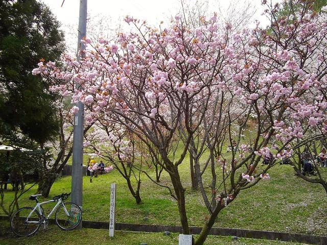 宗堂桜 #3