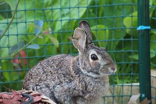 Strong Garden Rabbit with Torn Ear