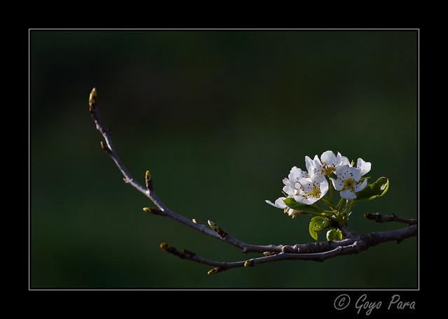 Las primeras hojas convertidas en flores