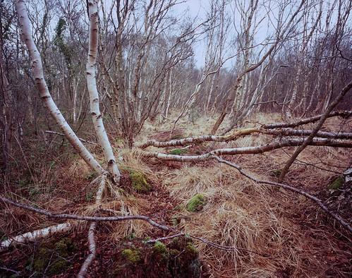 trees winter grass moss somerset velvia100 silverbirch § tubb mamiya7ii somersetlevels shapwickheath mamiya43mmf45l