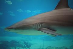 animal, fish, great white shark, shark, ocean, marine biology, underwater, carcharhiniformes, requiem shark, tiger shark,