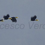 Wreathed Hornbills in flight - Geylephuru Bhutan 2012_S4E1334