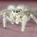 Jumping spider family (Salticidae)  by K'Anas Ahmad