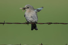 Mountain Bluebird_2032.jpg by Mully410 * Images