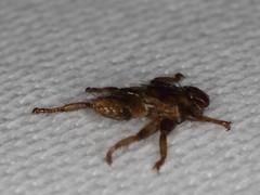 deer fly - Hirschlausfliege