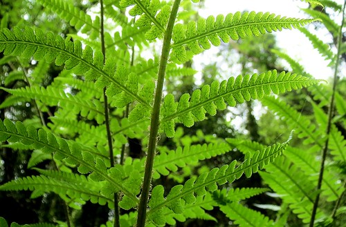 Fresh ferns