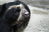 Cincinnati Zoo ... Spectacled Bear