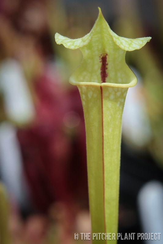 Sarracenia 'Leah Wilkerson' x 'Adrian Slack'