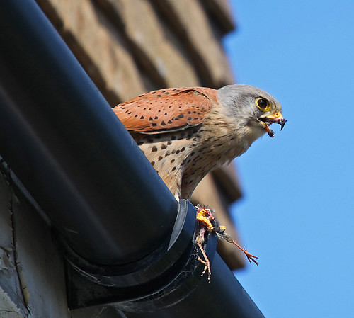 Kestrel & House Sparrow for lunch by Kinzler Pegwell