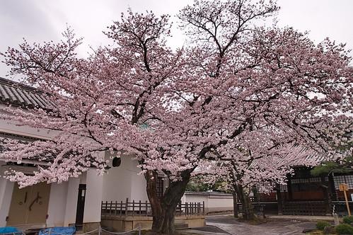 【写真】2013 桜 : 本隆寺/2020-05-19/IMGP9112