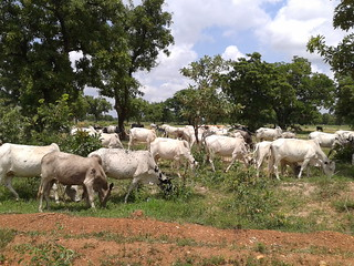 Cow herd grazing in Northwest Ghana