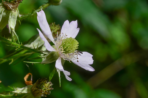 <p><i>Rubus laciniatus</i>, Rosaceae<br /> Burnaby Lake Park, Burnaby, British Columbia, Canada<br /> Nikon D5100, 105 mm f/2.8<br /> June 29, 2013</p>