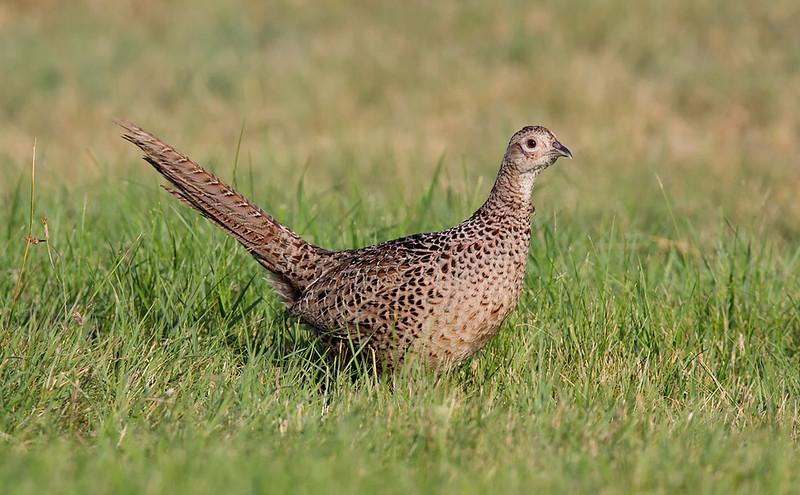 Pheasant [female]
