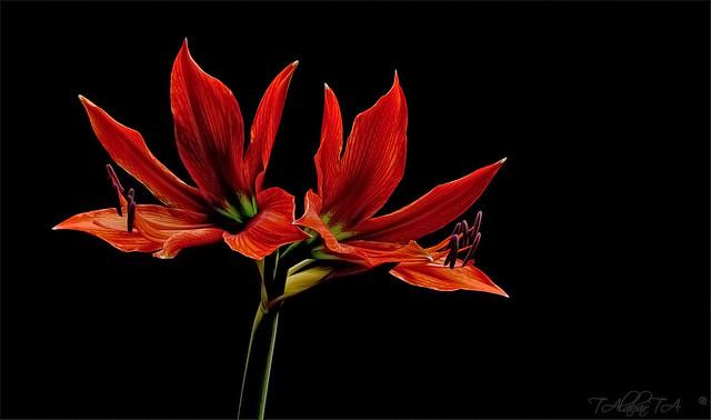 De mi jardin, Lirios Rojos.....
