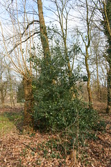 Aquifoliaceae
