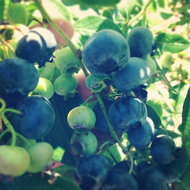Picking blueberries!