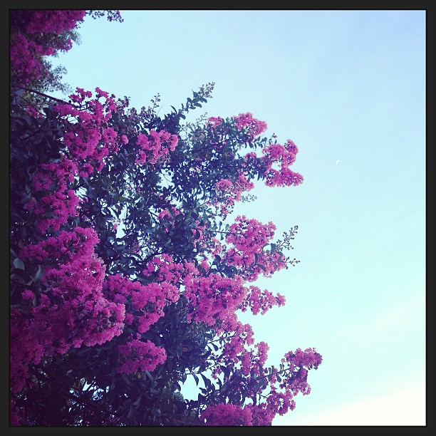 Crepe myrtle (& tiny moon) #foundwhilerunning
