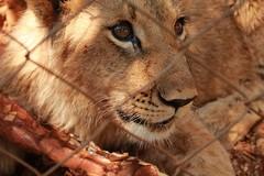 Beautiful eyes- Lion in Zambia