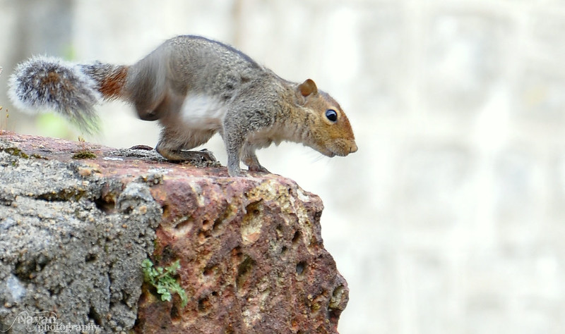 squirrel by nayan.kumar
