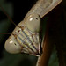 Tenodera angustipennis (tentative), Narrow-winged mantis, Troutville, Virginia
