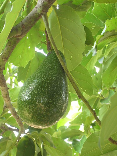 paticheri_avocado
