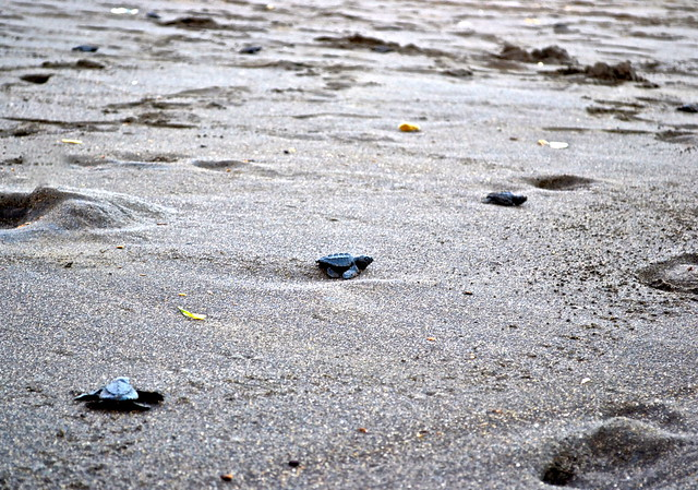 Turtle Release - Pacific Ocean - Monterrico, Guatemala
