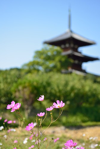 Cosmos  flowers in front of Hokki-ji temple No.1.