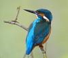 IJsvogel by Poelifinario