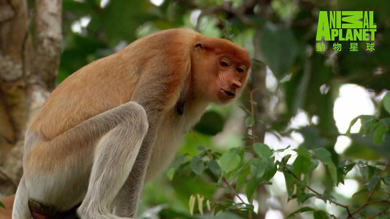 長鼻猴,只有在婆羅洲才看得見牠們的蹤跡。(動物星球頻道提供)