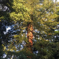 Sun hits the backyard redwood tree. #goldenhour #california #redwoods #wildbayarea @wildbayarea