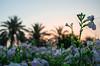 This place doesn't even looks like Dubai! Sunrise shot in My Secret Garden. Dubai. May 25, 2015. 5:30am.
