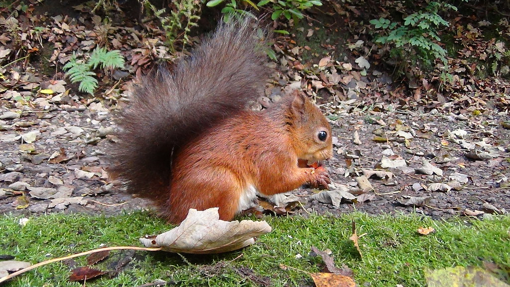 Red Squirrel with Monkey Nut. Sony HDR-PJ420. Shap Forest, Cumbria