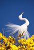 Série com a Garça-branca-grande, no topo do Ipê-Amarelo - Series with the Great Egret (Casmerodius albus, sin. Ardea alba) at the top of the Trumpet tree, Golden Trumpet Tree (Tabebuia [chrysotricha or ochracea]) - 02-09-2015 - IMG_8745