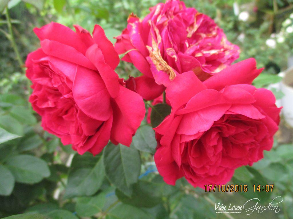 hoa hong leo red eden rose (1)-vuonhongvanloan.com