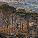 Assynt Pines by Shuggie!!