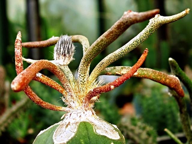 Astrophytum caput-medusae D.R.Hunt