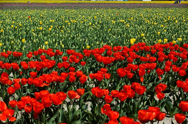 lots of tulips