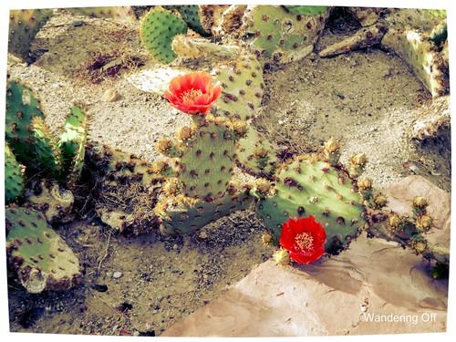 Ethel M cactus garden. Las Vegas