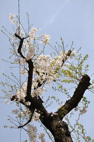枝打ちされても咲く