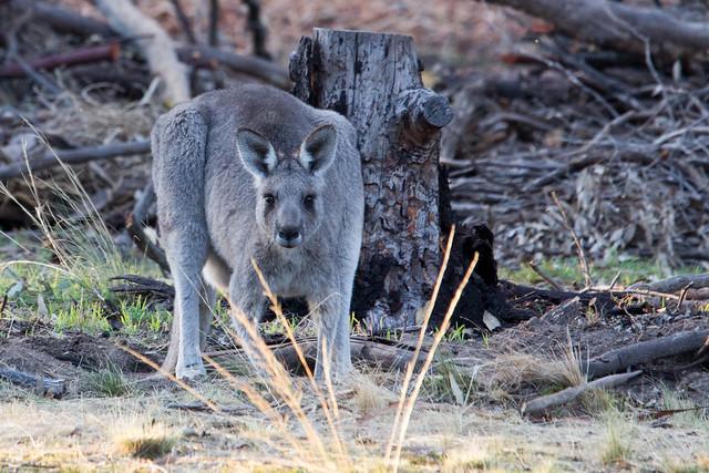 Kangaroo 2012-04-13 (_MG_6660)