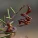 Small photo of Acacia colletioides