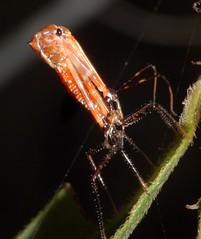 Assassin bugs Reduviidae of Whitsunday Shire