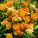 Butterfly Milkweed's in Full Bloom