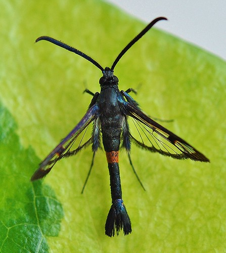 Red-belted Clearwing Synanthedon myopaeformis by Kinzler Pegwell