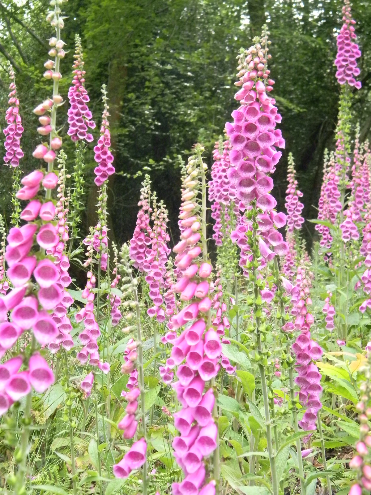Foxgloves Haslemere to Midhurst