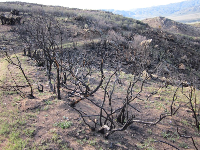 PCT San Felipe Hills - burned chaparral